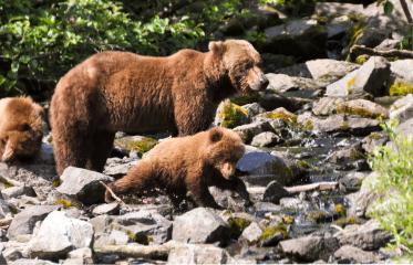 Accor Vacation Club Travel Alaska - Grizzly Bear