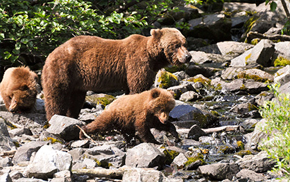 Accor Vacation Club Cruises Alaska Bears